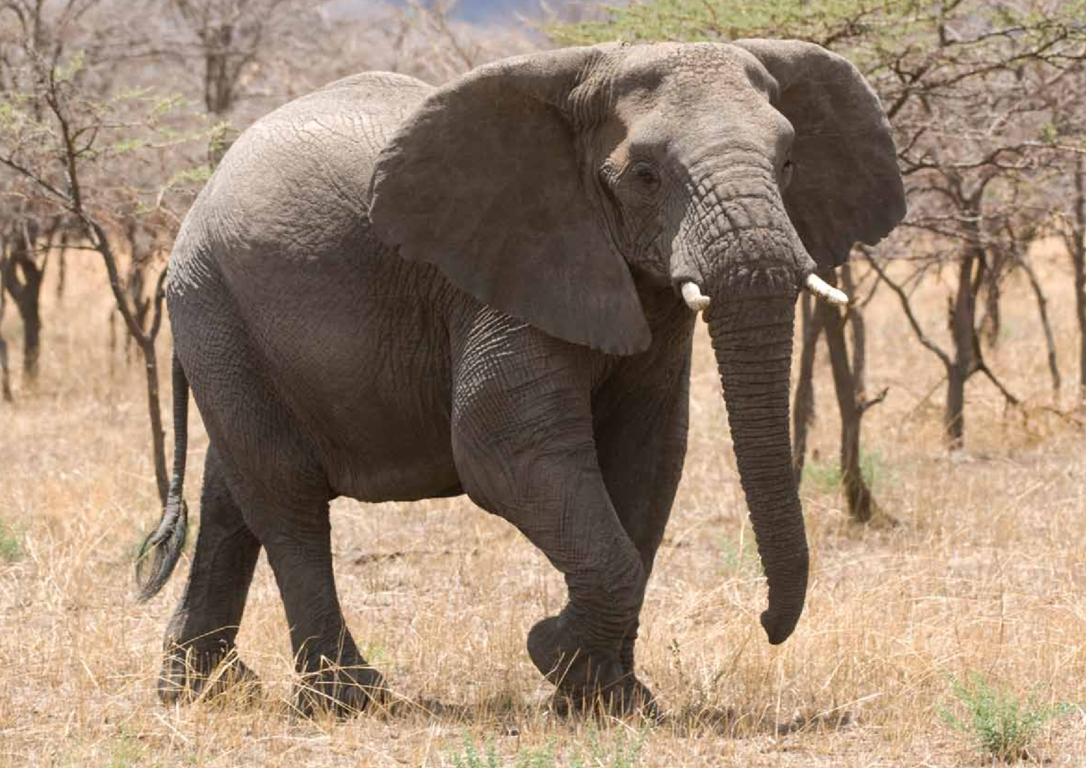 Adult African Elephant Display Image