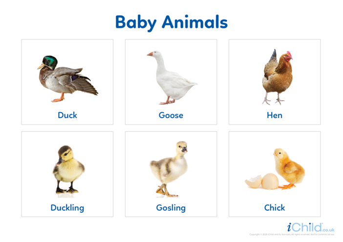 Thumbnail image for the Baby Animals 4 - Photo Flashcard activity.