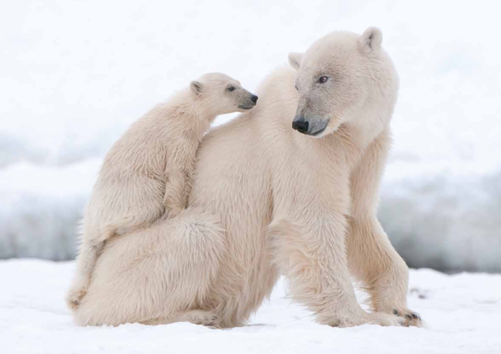 Thumbnail image for the Adult & Baby Polar Bear Display Image activity.