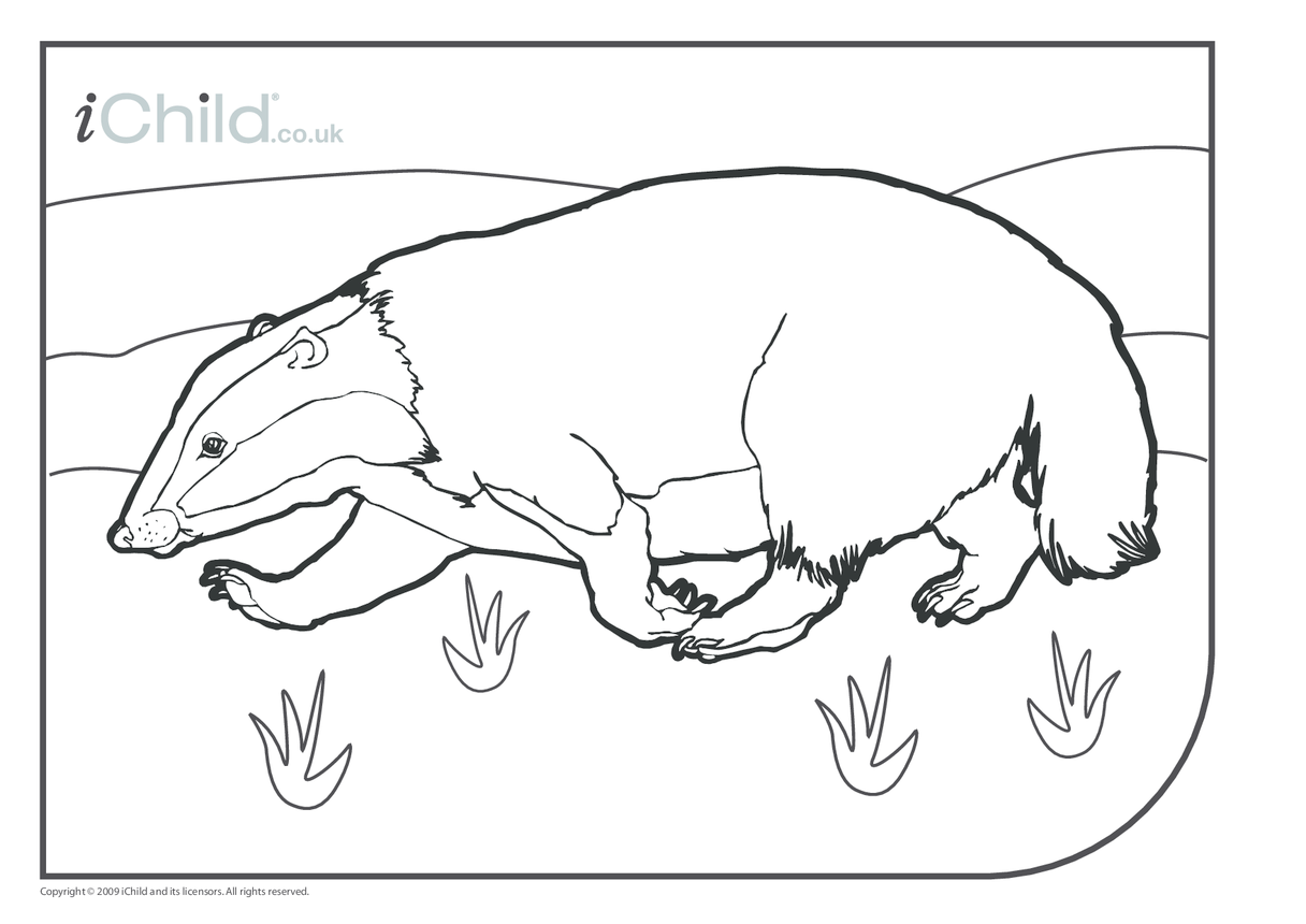 Badger Colouring in picture