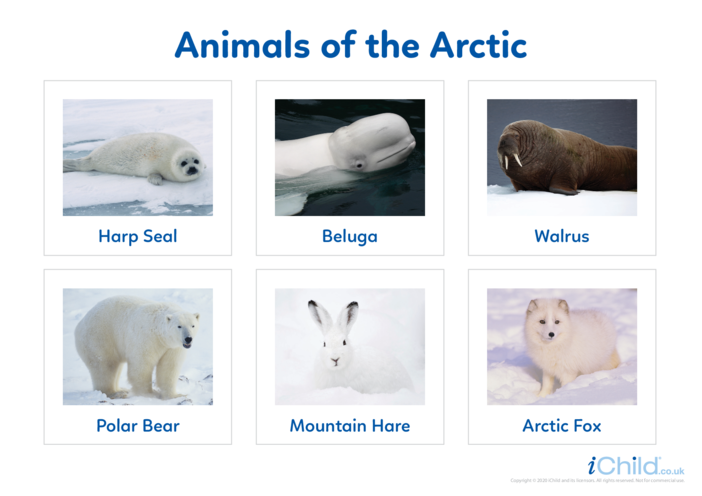 Thumbnail image for the Animals of the Arctic 2 - Photo Flashcard activity.
