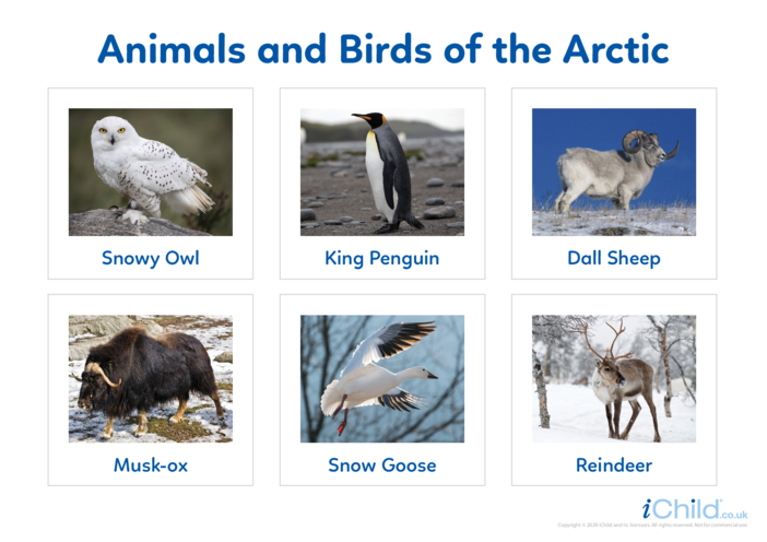 Thumbnail image for the Animals of the Arctic - Photo Flashcard activity.